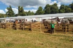 Belgierne i boksene ved Børn og Dyr på Bregentved